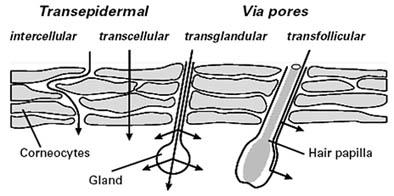 Permeação cutânea - Formas possíveis de penetrar a camada córnea da pele